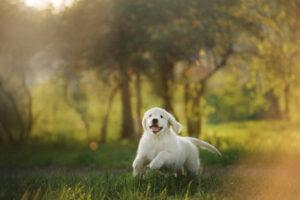 Labrador opvoeden